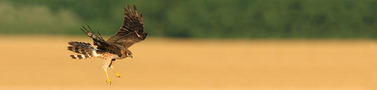 Realizacja Krajowego Planu Ochrony Błotniaka Łąkowego